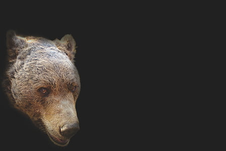 brown and black bear head