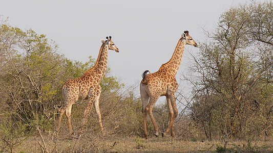 two giraffe in the middle of forest