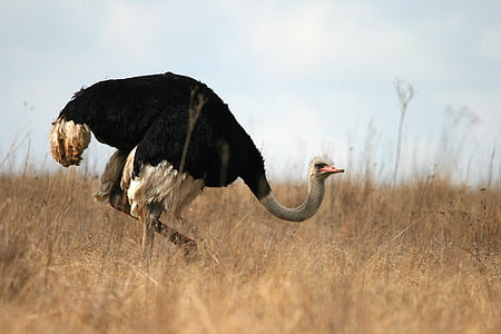 ostrich on dry land