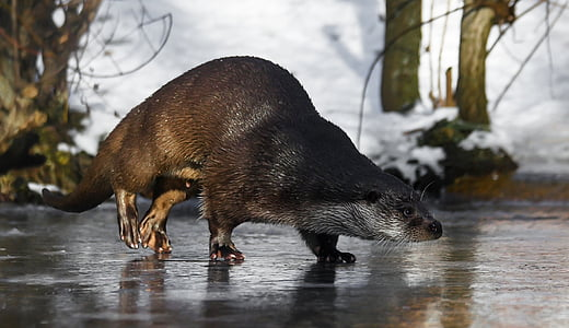 rodent walking on ice lake