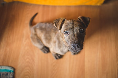 brindle and black American pit bull terrier puppy
