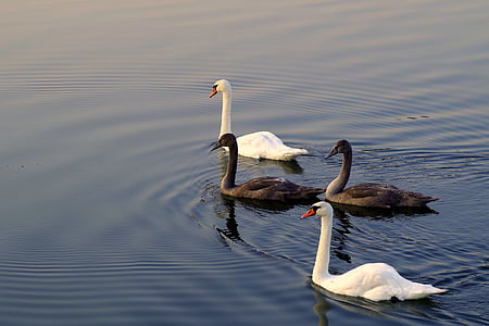 two brown and white ducks on body of water