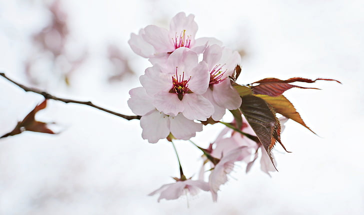 pink and white cherry blossoms