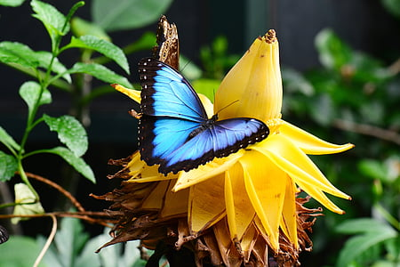 blue and black morpho butterfly