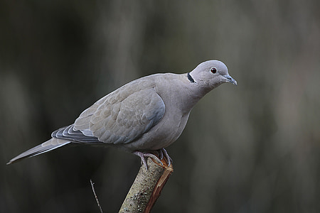 selective photo of gray pigeon