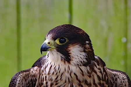 peregrine falcon, falcon, fast bird, bird, peregrine, predator
