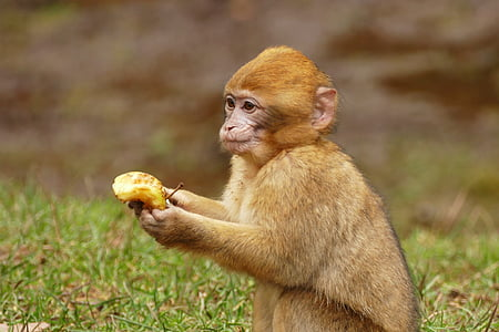 brown monkey holding banana