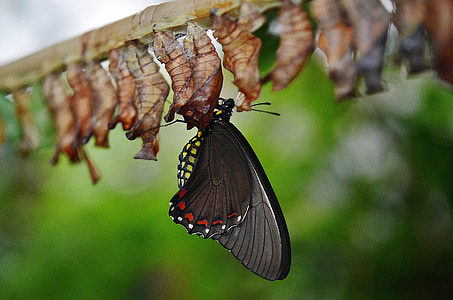 common rose butterfly perching on chrysalis during daytime