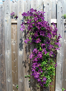 purple clematis flowers in bloom at daytime