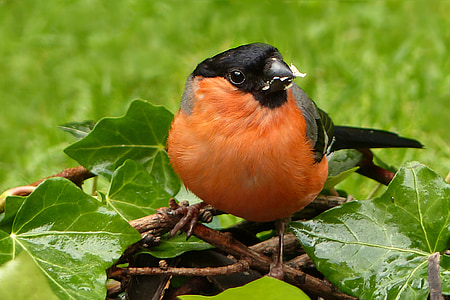 focus photo of Eurasian bullfinch bird perched on branch of tree