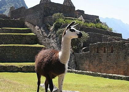 brown and white llama