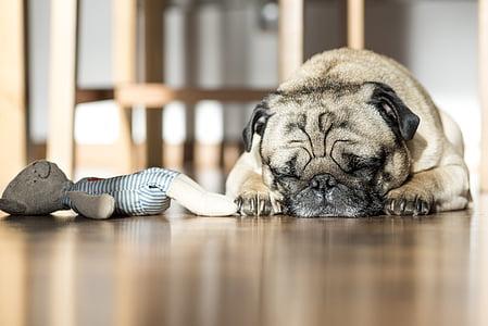 adult fawn pug sleeping on floor