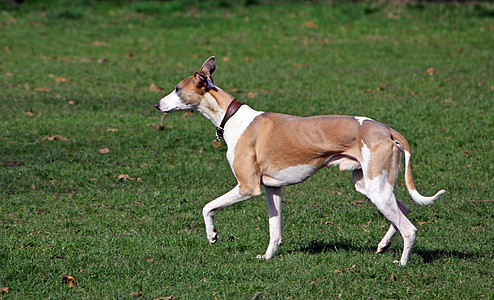 white and brown greyhound on grass field