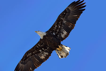 bald eagle in mid air under blue sky