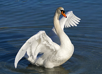 white domestic swan on body of water