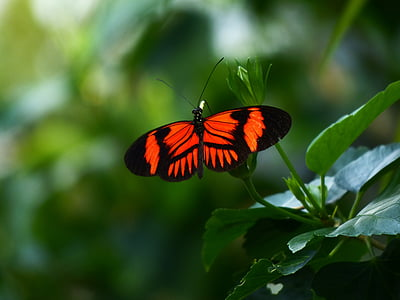 Doris longwing butterfly perched on green leaf