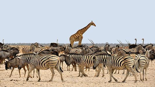 zebras, giraffe, and ostriches