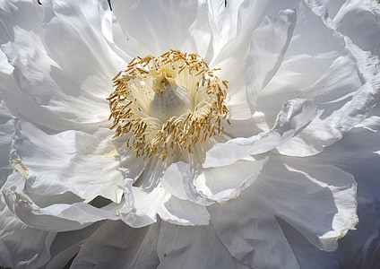 white peony in bloom close up photo