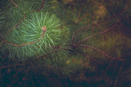 selective focus of green pine tree