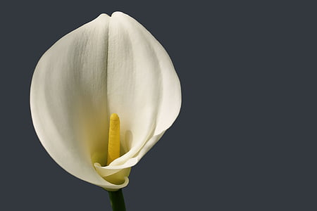 close up photography of white calla lily