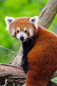 red panda on top of tree branch