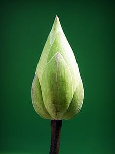 photo of green flower bud
