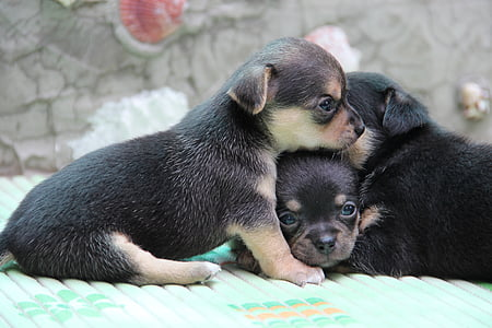 three short-coated black-and-gray puppies
