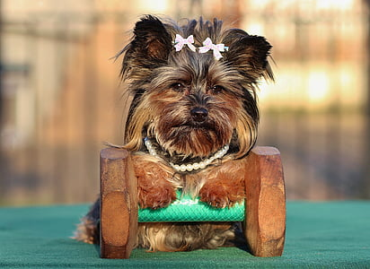 black and tan Yorkshire terrier on dumbbell