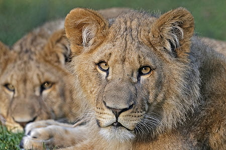 close up photography of lioness