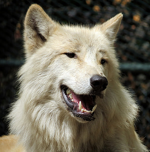 beige wolf dog selective focus photography
