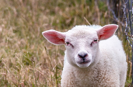 white lamb on grass field