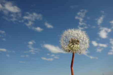 rule of thirds photography of dandelion