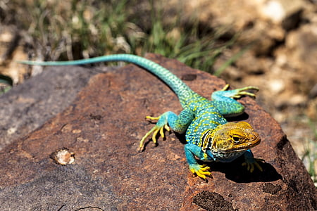 animal photography of blue and yellow lizard