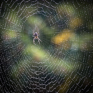 close up photo of barn spider with web and water dew