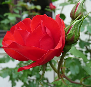 close up photo of red rose in bloom