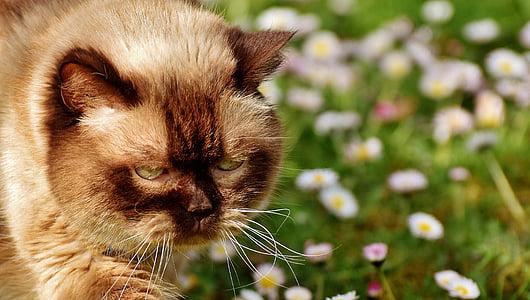 brown persian cat