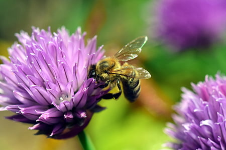close-up photo of honey bee perched on purple petaled flower