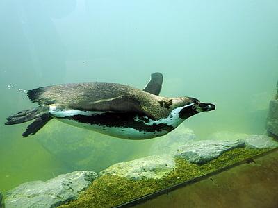 penguin swimming in tank