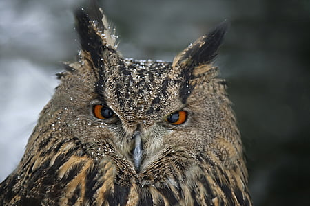 wildlife photography of strix owl