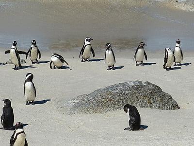 black-and-white penguins on beach