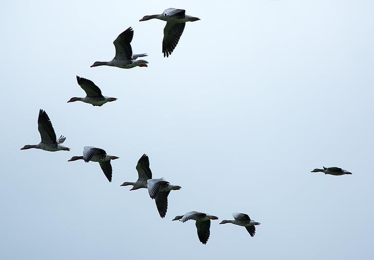gray-and-black flying ducks