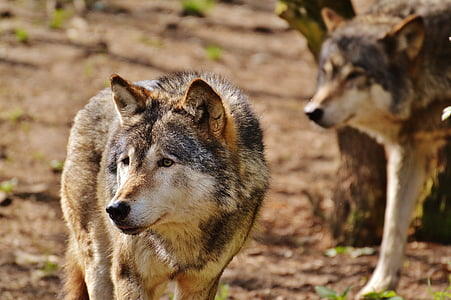 gray and brown wolf in close-up photography during daytime