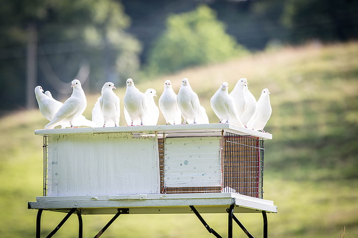 selective focus photo of white pigeons stands on white wooden cage