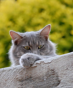 short-coated gray cat