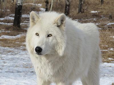 wolf standing on ground