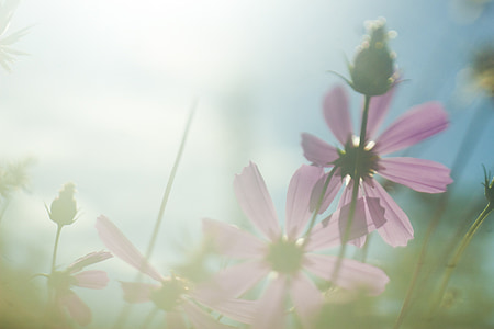 close up photo of pink cosmos flowers