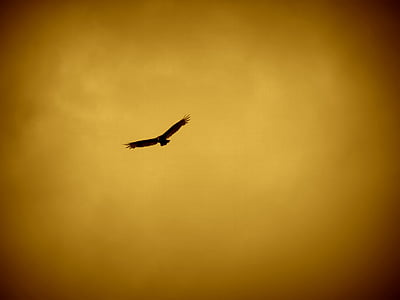 silhouette photography of soaring eagle