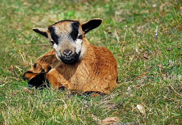 brown and black kid goat lying on green grass