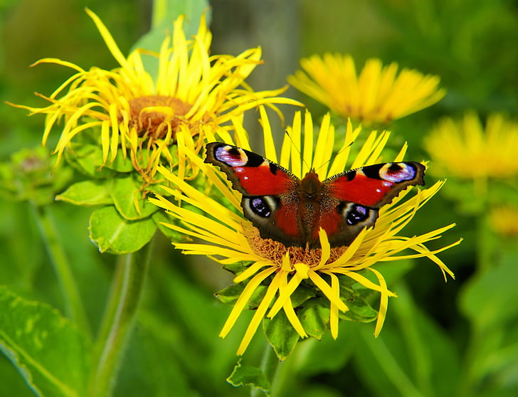 Aglais io butterfly perching on yellow sunflower at daytime