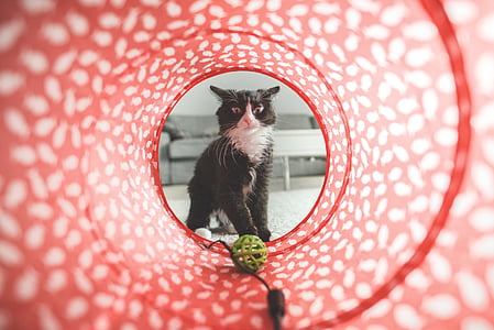 tuxedo cat looking on green plastic ball in agility tunnel